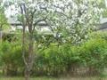 リンゴの花吹雪